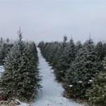 Christmas trees (Small)