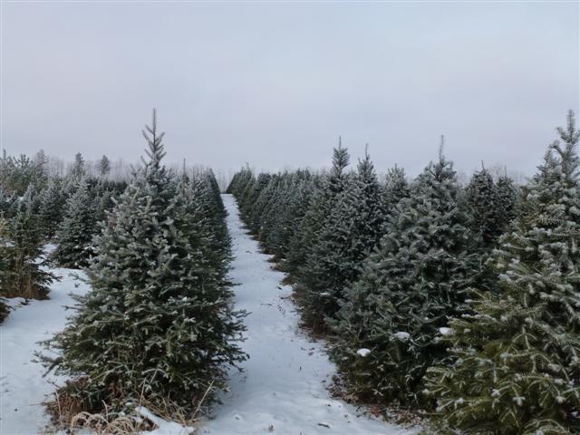 Christmas trees (Small)