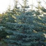 Colorado Blue Spruce-2 (Small)