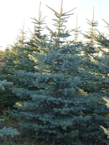 Colorado Blue Spruce-2 (Small)