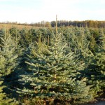 Colorado Blue Spruce-3 (Small)