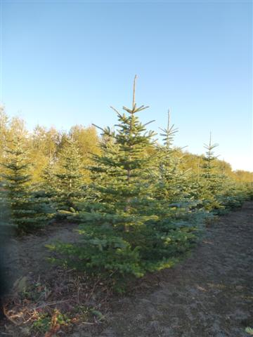 Colorado Blue Spruce-4 (Small)